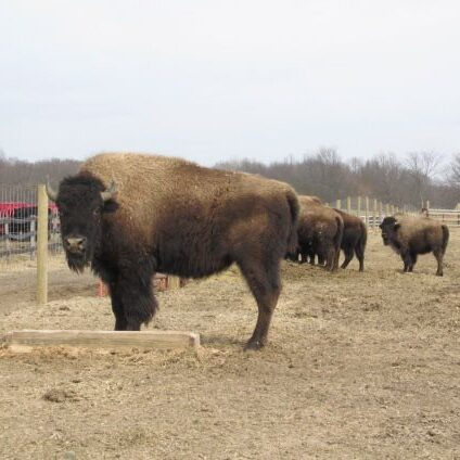 Our very own buffalo at the farm!