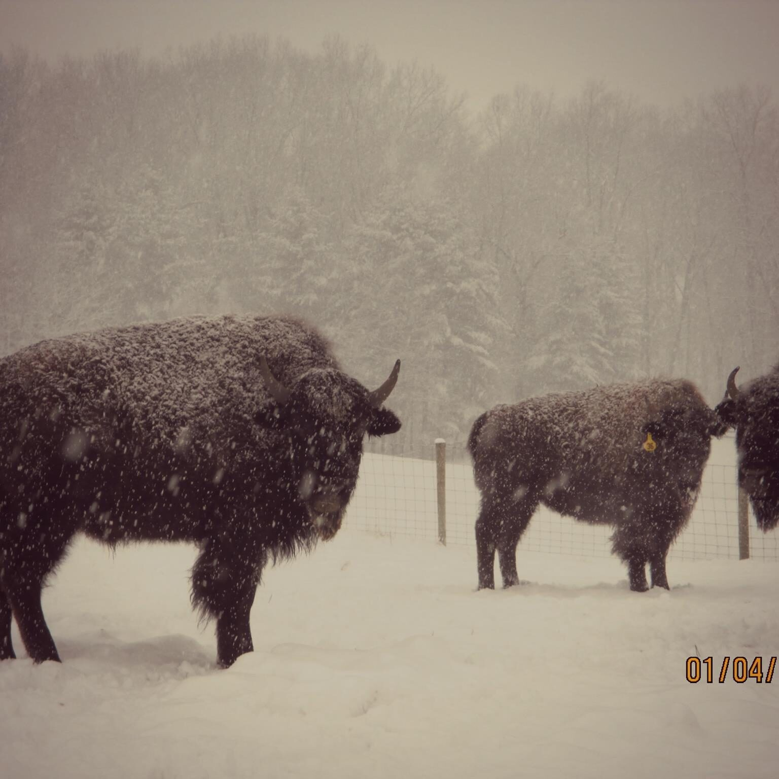 buffalo winter close up